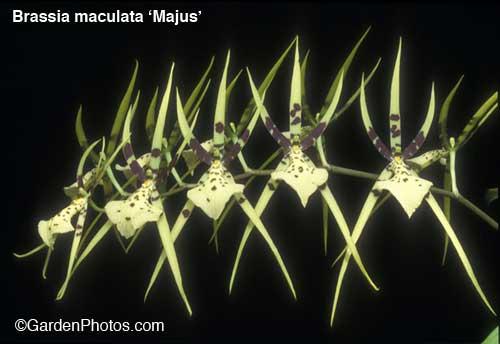 Brassia-rockettes15107-500