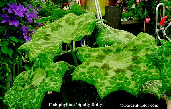 PodophyllumSpottyDotty13449-600
