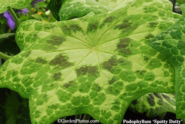 PodophyllumSpottyDotty13457-600