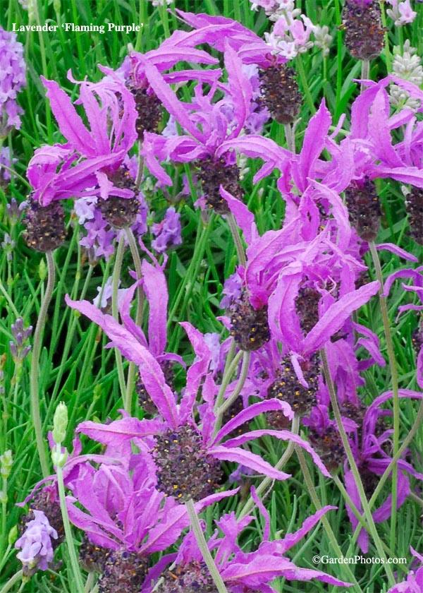 LavenderFlamingPurple13657-600