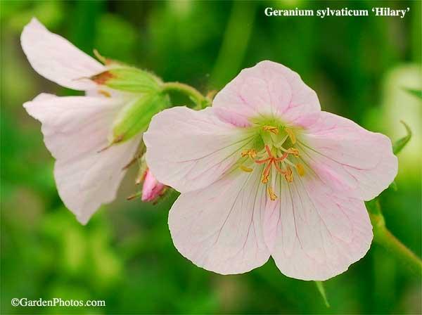 GeraniumsylvaticumHilary13429-600