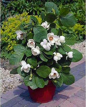 MagnoliaTelegraph