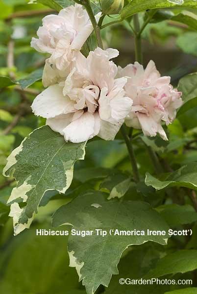 HibiscusSugarTip17488