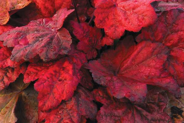 Heuchera_Autumn_Leaves_1b