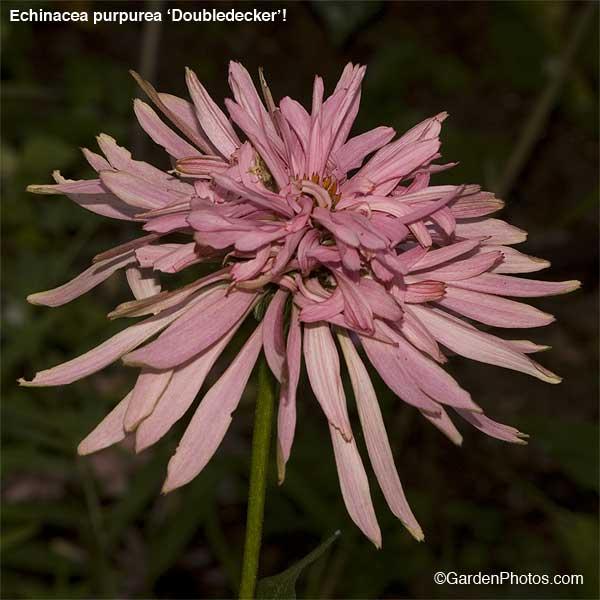 EchinaceaDoubledecker17472