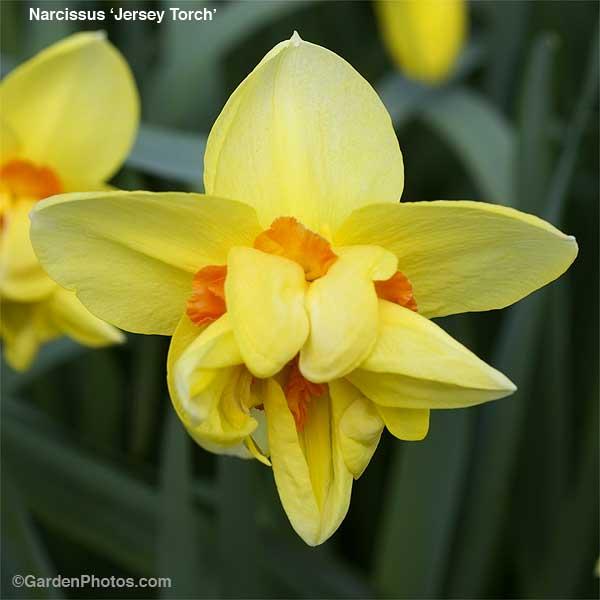 NarcissusJerseyTorch12769