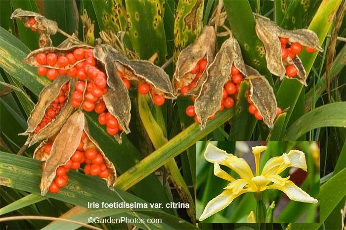 Irisfoetidissima-FlowersBer