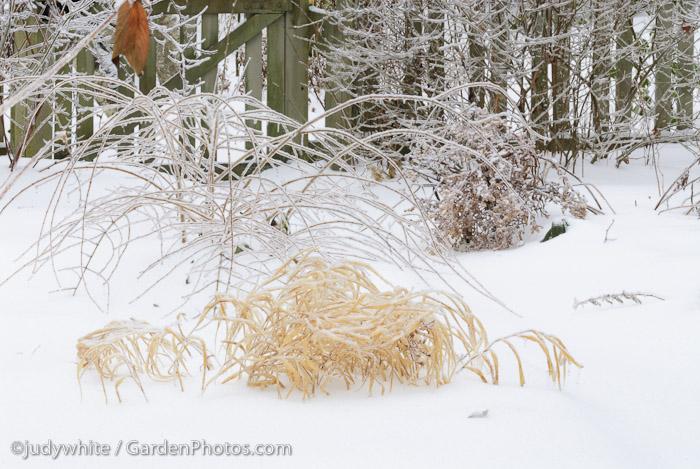 Hakonechloa-Winter-Ice-_J020029