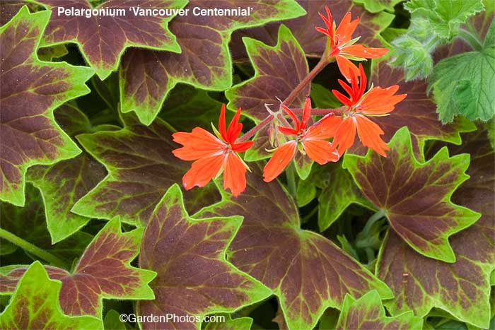 PelargoniumVancouverCentennial31048