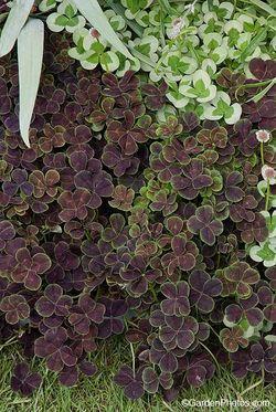 Four leaf purple clover - Trifolium repens 'Purpurascens Quadrifolium' Image ©GardenPhotos.com