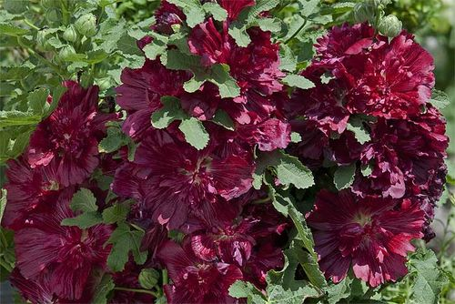 Hollyhock 'Spring Celebrities Crimson' - Fleuroselect Gold Medal Winner 2012. Image © Fleroselect