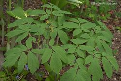 Flowers and foliage of Caulophyllum thalictroides, blue cohosh. Image ©GardenPhotos.com