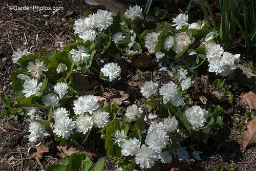 Sanguinaria, bloodroot, in need of dividing and replanting. Image ©GardenPhotos.com)