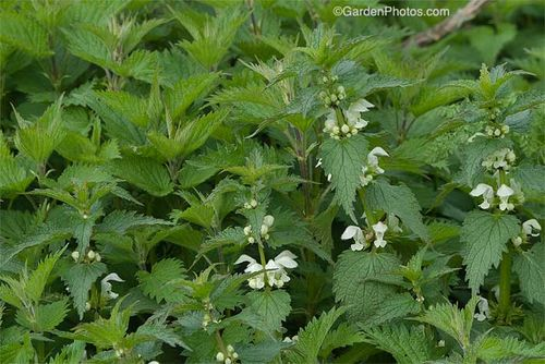 White dead nettle, Lamium, in flower with the paler foliage of stinging nettle, Urtica. Image ©GardenPhotos.com