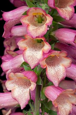 Digitalis Illumination Pink - Plant of The Year winner 2012. Image © RHS