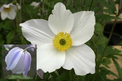 Anemone 'Wild Swan' - Plant of The Year winner 2011