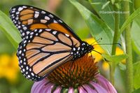 Monarch-Echinacea