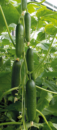 Cucumber 'Socrates' - 129 cucumbers from one plant. Image ©Enza Zaden