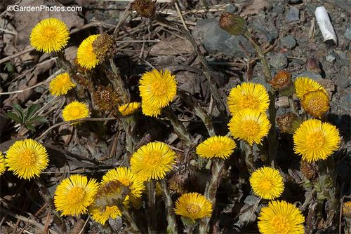 Coltsfoot by a Pennsylvania roadside, with cigarette butt. Image ©Garden Photos.com