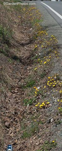 Pennsylvania roadside population of coltsfoot, with beer can. Image ©GardenPhotos.com