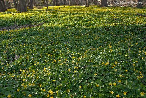 Ranunculusficaria_J038190