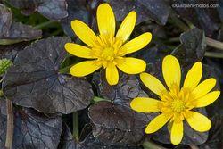 RanunculusficariaBrazenHussy700