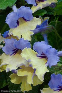 Streptocarpus 'Harlequin Blue' - Plant of The Year winner 2010. Image ©GardenPhotos.com