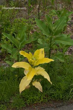 Gold-leaved form of Asclepias syriacus, Common Milkweed. Image ©GardenPhotos.com