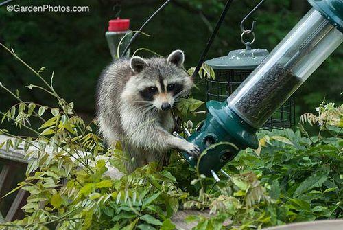 RaccoonFeeder_G021623