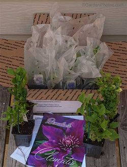 Clematis plants from Donahue's Greenhouse. Image ©GardenPhotos.com