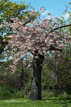 Flowering cherry planted by the Roads Beautifying Association fifty years ago. Image ©GardenPhotos.com