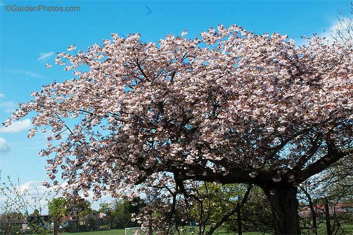 PrunusRBA-1