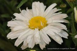 Leucanthemum x superbum 'Freak!' - Best perennial at New Plant Awards. Image ©HTA.
