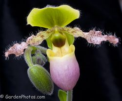 Paphiopedilum 'Pinocchio'. Image ©GardenPhotos.com (all rights reserved)