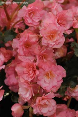 Begonia 'Summerglory' won the award for Breeder Innovation at the New Plant Awards. Image ©HTA