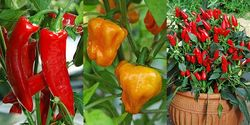 Three Chillis - featured in my Spice up life with chillis blog post