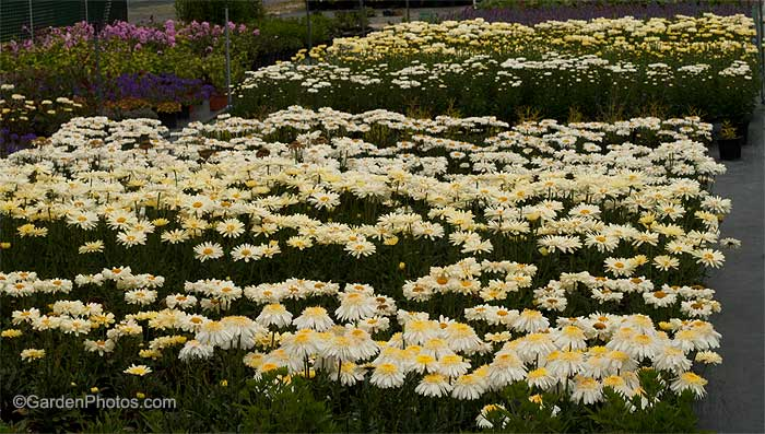 LeucanthemumRealSeriesFarPlants
