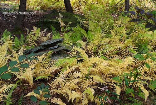 Hay-scented fern, Dennstaedtia punctilobula, coloring in fall. Image ©GardenPhotos.com (all rights reserved)