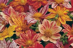 Single dahlias from seed: 'Fireworks'. Image © Thompson & Morgan
