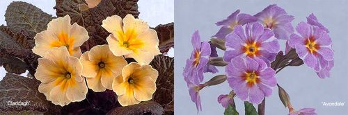 Primrose 'Claddagh' (left) and 'Avondale' Images ©Pat Fitzgerald.