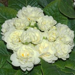 Primrose 'Belarina Cream'. Image © GardenPhotos.com (all rights reserved)