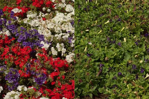Red, white and blue Petunia 'Easy Wave' (right) and Phlox '21st Century' planted in a Union Jack pattern! Images ©GardenPhotos.com