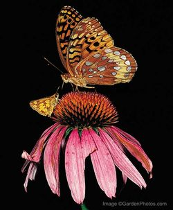 Jjudywhite's stellar snapshot of a great spangled fritillary and a Peck's skipper on a purple coneflower appeared in the July issue of Birds & Blooms Extra. Image ©GardenPhotos.com (all rights reserved)