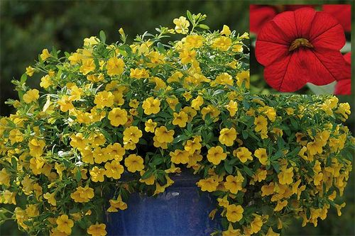 Calibrachoa Cabaret™ Bright Red and Cabaret™ Deep Yellow. Images ©Ball Colegrave