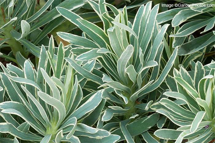 EuphorbiaGlacierBlueGP