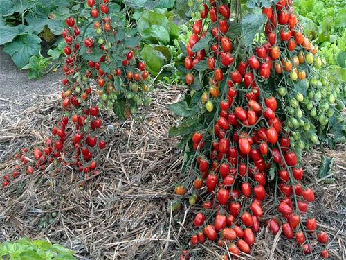 Tomato 'Sweetheart': Grafted and Non-Grafted. Image ©Log House Plants