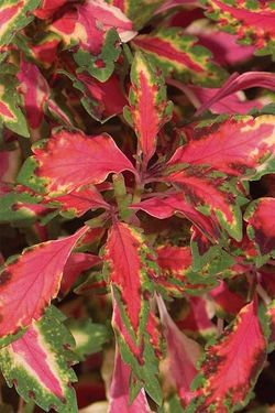 Coleus 'Pink Chaos' is a Dallas Arboretum FlameProof Plant Award winner, but is rarely seen in Britain. Image ©Proven Winners provenwinners.com