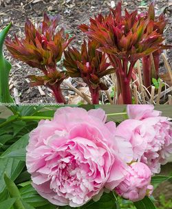 Peony 'Sarah Bernhardt' has both colorful foliage and colorful flowers. Images ©GardenPhotos.com