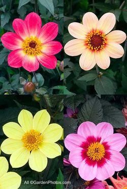 Single dahlias from cuttings: Happy Single Flame ('HS Flame') (top left), Happy Single First Love ('HS First Love') (top right), Happy Single Party ('HS Party') (lower left), Happy Single Date ('HS Date') (lower right). Images ©GardenPhotos.com (all rights reserved)