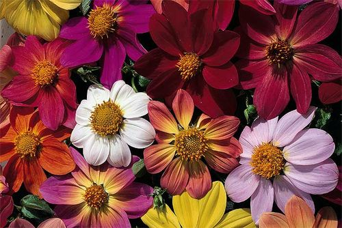 Single dahlias from seed: 'Victoriana'/Species Mixed'. Image © Thompson & Morgan